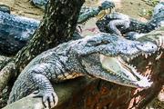 crocodiles 3